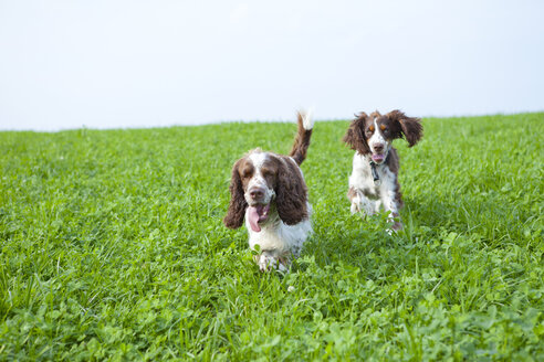 Two English Springer Spaniels running on a meadow - MAEF011500