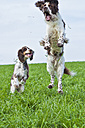 Two English Springer Spaniels jumping on a meadow - MAEF011503