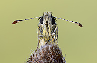 Portrait of grizzled skipper - MJOF001166