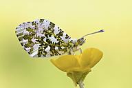 Orange tip on yellow blossom - MJOF001172