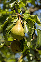 Ripe pear on pear tree - JUNF000525