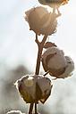 Germany, cotton plant - JUNF000528