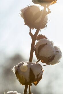 Germany, cotton plant - JUNF000528