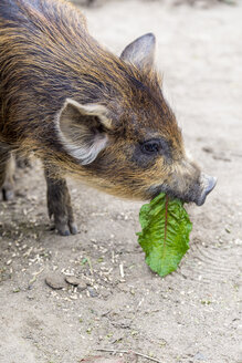 Portrait of young wild boar eating a leaf - JFEF000788
