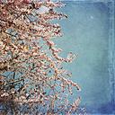 Cherry blossom in spring - LVF004890