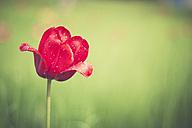 Red tulip - ASCF000589