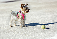 Portrait of Yorkshire Terrier standing in front of a ball - MGOF001834
