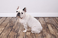 Portrait of French bulldog sitting on the wooden floor - RTBF000213