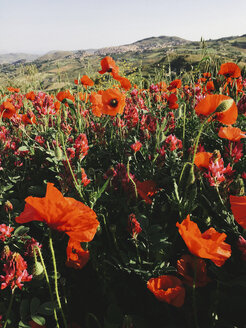 Italy, Sicily, Blooming Red Poppies - JUBF000163