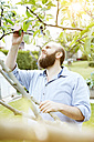 Young man checking knosps on apple tree in garden - SEGF000560