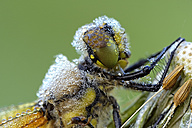 Four-spotted chaser, Libellula quadrimaculata, portrait, close-up - MJOF001186