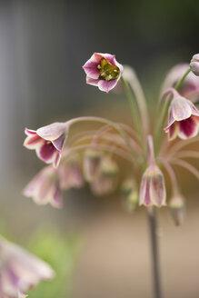 Sicilian honey lilies - MYF001500