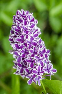 Bicolored lilac blossom - MHF000390