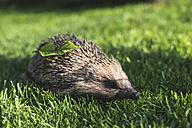 Hedgehog on a meadow - DEGF000810