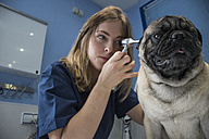 Veterinarian examining ears of a dog with an otoscope in a veterinary clinic - ABZF000613