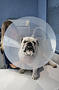 Portrait of a dog with pet cone in a veterinary clinic - ABZF000631