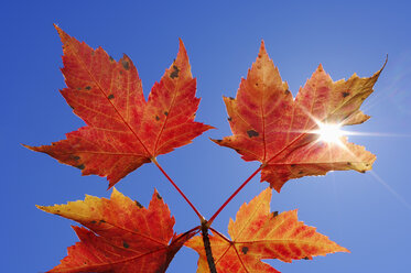 Autumnal maple leaves against clear blue sky at backlight - RUEF001700