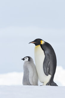 Antarctica, Snow Hill Island, Emperor penguin with chick - RUEF001703