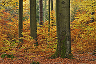 Forest in autumn colours - RUEF001715