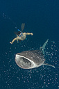 Indonesia, Cenderawasih Bay, Whaleshark and snorkeler - TOVF000053