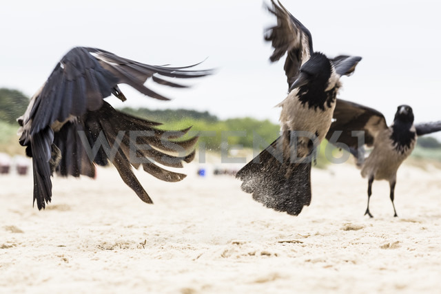 Fighting hoodiecrows on the beach - NGF000335 - Nadine Ginzel/Westend61