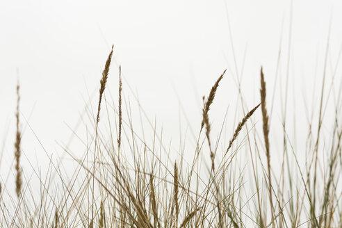 Marram grasses - NGF000338