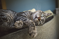 Tabby cat relaxing on backrest of a couch - RAEF001185