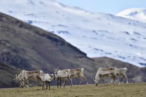 Iceland, herd of reindeers - FDF000176