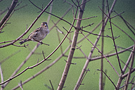 Sparrow on a twig in winter - LOMF000297