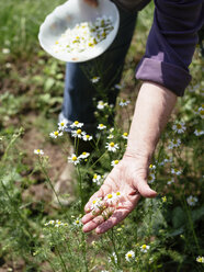 Senior woman harvesting chamomile flowers heads in garden - HAWF000937