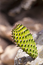 Prickly pear - CMF000466
