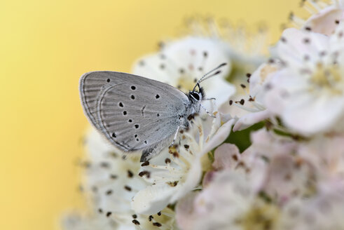 Small blue on blossom - MJOF001192