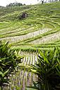 Indonesia, Bali, rice fields - KNTF000322