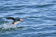 Atlantic puffin flying over the sea - FDF000186