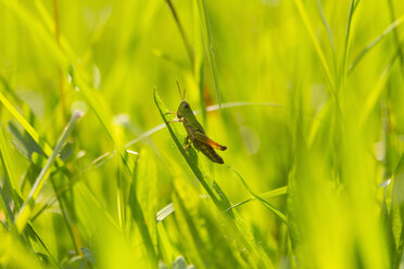 Grasshopper in meadow, close up - HSIF000445