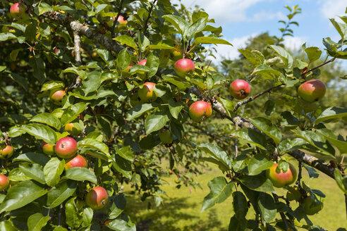 Apple tree - HSIF000448