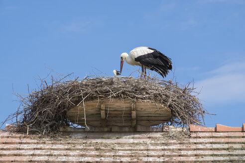 Two white storks in nest - ELF001756