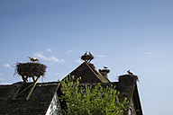 Colony of white storks breeding on rooftops - ELF001759