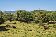 Spain, Andalusia, Tarifa, Retinta breed cows, grazing - KIJF000458