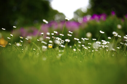 Germany, summer meadow in june - JTF000747