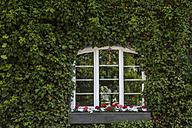 Window in between ivy on house facade - TCF004970