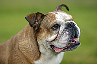 Portrait of English bulldog - MJOF001204