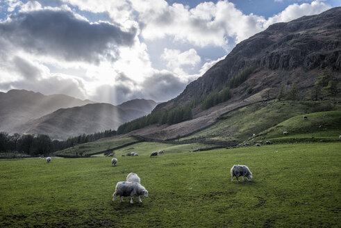 England, Cumbria, Lake District, Langdale, flock of sheep - ALRF000552