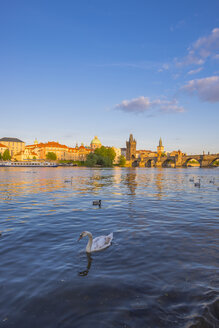 Czechia, Prague, mute swan, Vltava river, Old town with Charles Bridge in the background - WGF000875