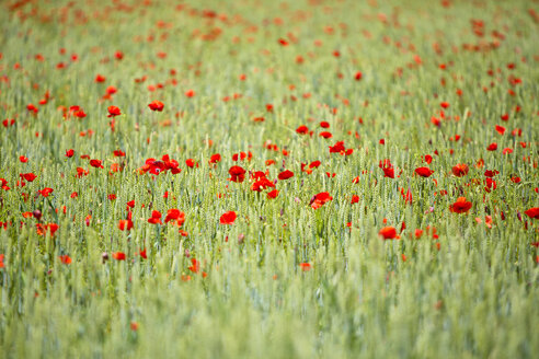 Field of poppies - MAEF011835