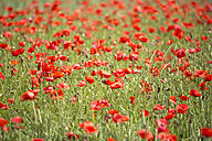 Field of poppies - MAEF011838