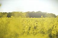 Canola field - SBOF000170