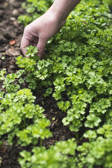 Picking parsley in a garden - DEGF000826