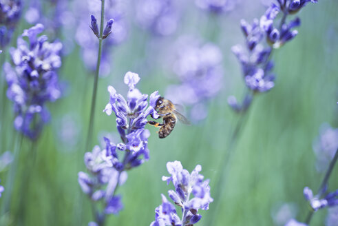 Bee on lavender, lavandula angustifolia - CZF000253