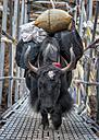 Nepal, Himalaya, yak transporting baggage on bridge - ALRF000579
